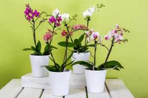 Care of Orchids- Basic care guide