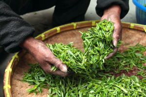 Green Tea and Green Tea Extract
